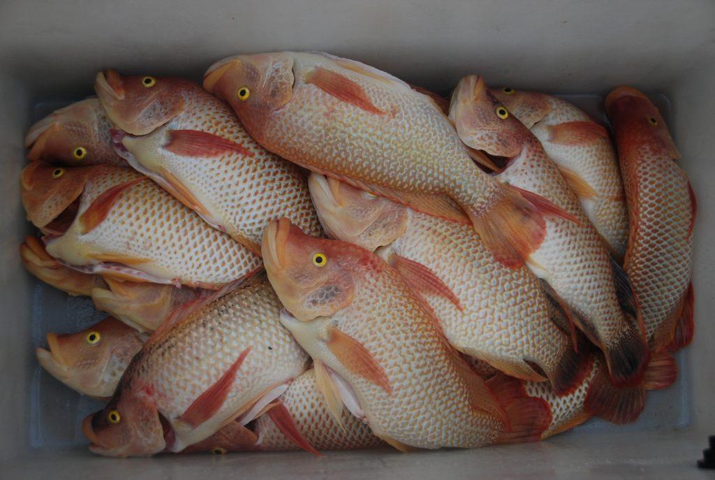 Aquaculture carp harveting