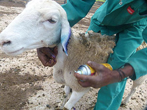 man holding a sheep for treatment