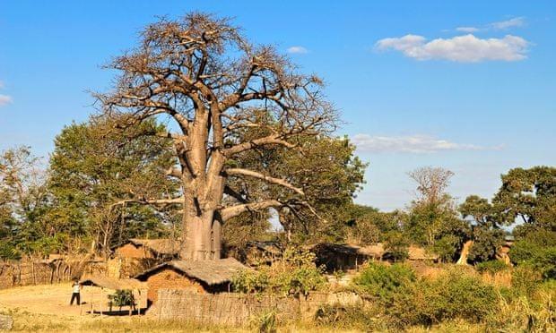 Baobab trees dwarf village buildings on the roadside between Monkey Bay and Mua in southern Malawi