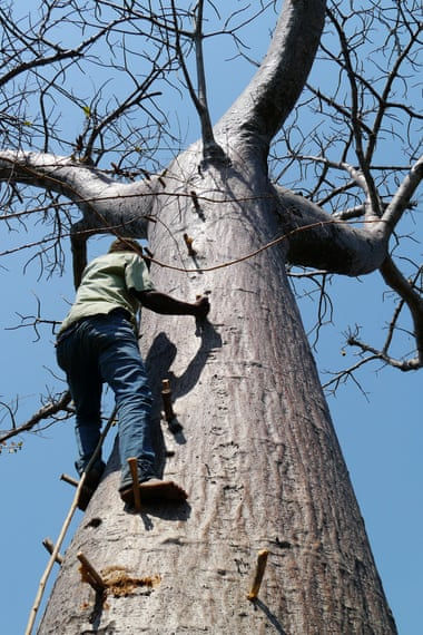 George Chisale, who lives in Mangochi, southern Malawi, scales a baobab tree to harvest its fruit